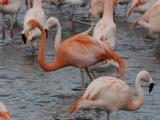 Пазлы: Фламинго
