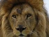 Пазлы: Царь зверей