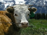 flash игра Alpine Cow Jigsaw